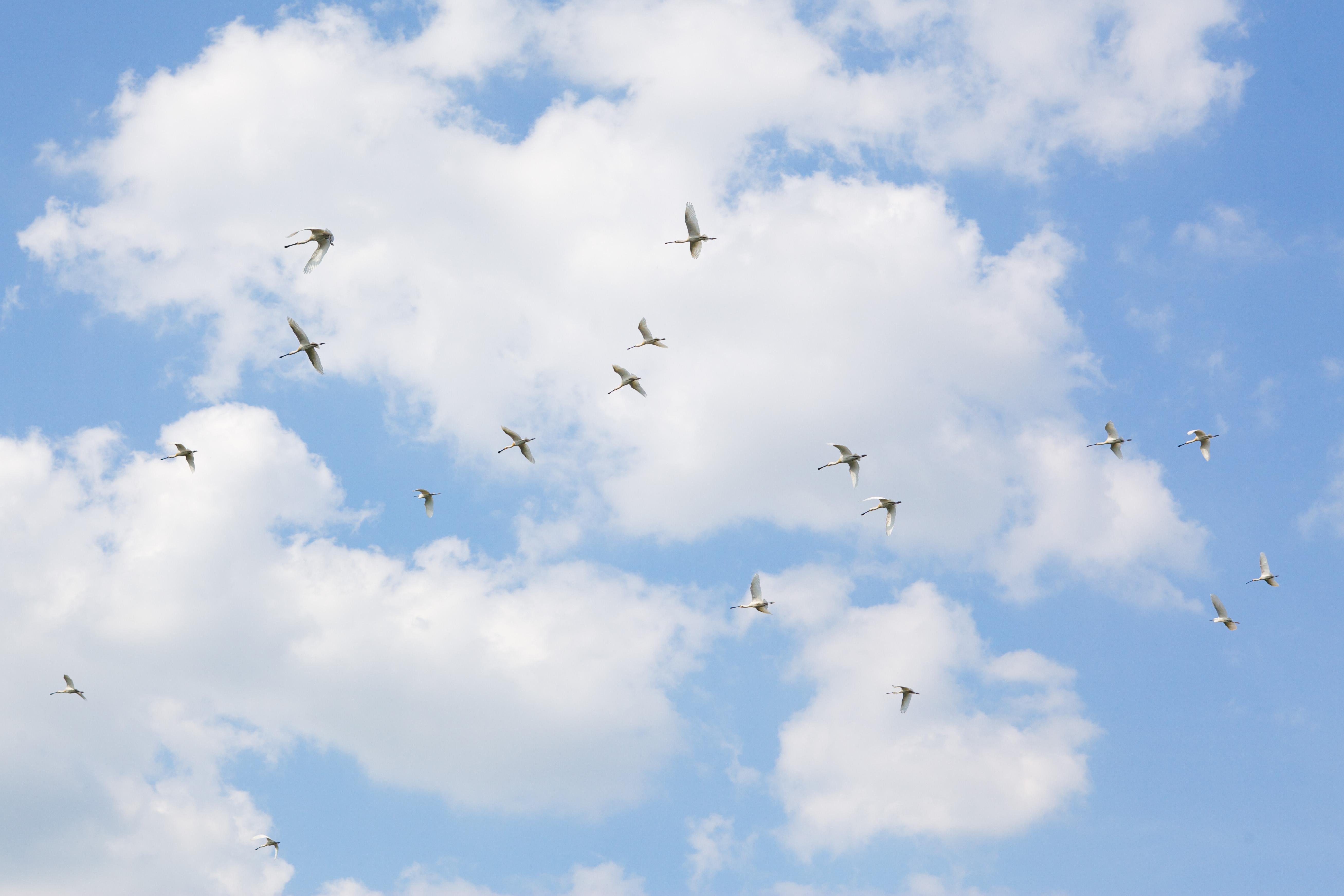 Lepelaars in de lucht