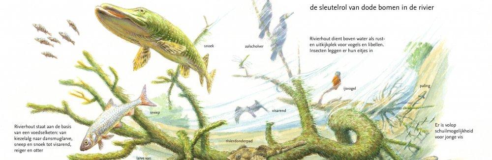 Rivierhout, de sleutelrol van dode bomen in de rivier